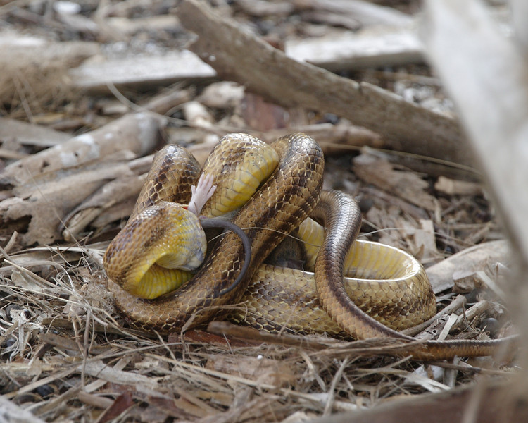 2013- yellow rat snake eating a rat- Ft Desoto-April