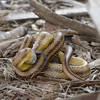 2013- yellow rat snake eating a rat- Ft Desoto-April