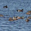 2013- American widgeon- MINWR- Jan