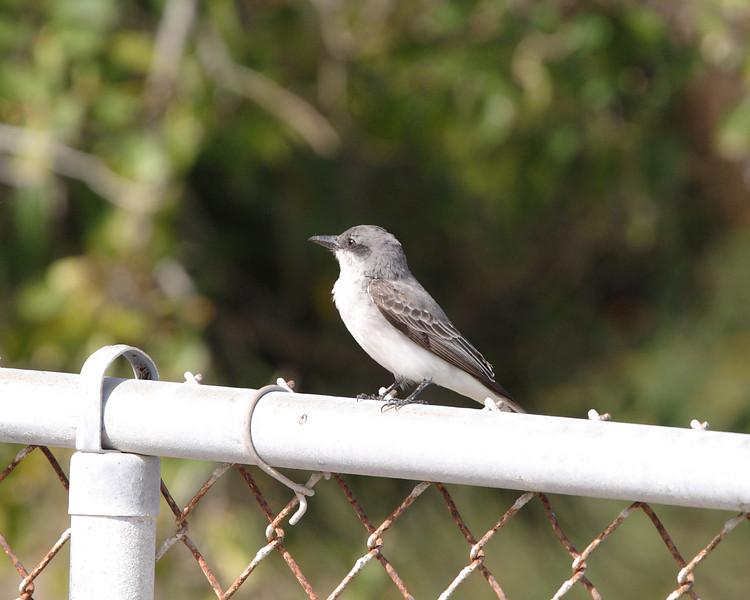 2013- grey kingbird- Ft Desoto- April