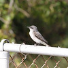 2013- grey kingbird- Ft Desoto- April