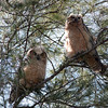 2014_Great horned owls fledglings_ Ft Desoto_ April 2014