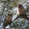 2014_Great horned owls fledglings_ Ft Desoto_ April 2014