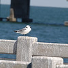 2013- black-legged kittiwake- Skyway Pier- Jan