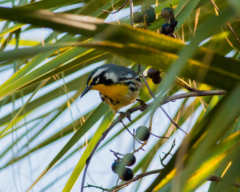 2014_Yellow-throated warbler 10-18-14