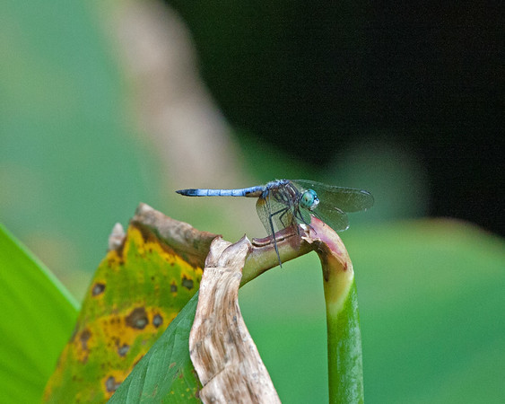 2016_blue dasher dragonfly_ Corkscrew Swamp_ April_IMG_5140