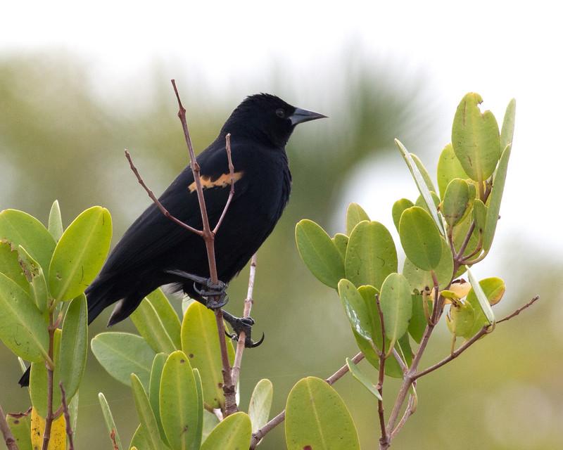2014_redwinged blackbird_ MINWR_ Dec 2014