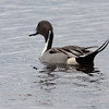 2014_pintail duck2_MINWR_ Dec 2014