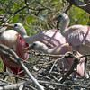 2013- roseate spoonbill2_lunchtime_St Augustine_March 2013