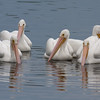 2014_white pelicans2_MINWR_ dec 2014