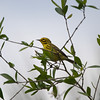 2013- prairie warbler- Ft Desoto- April
