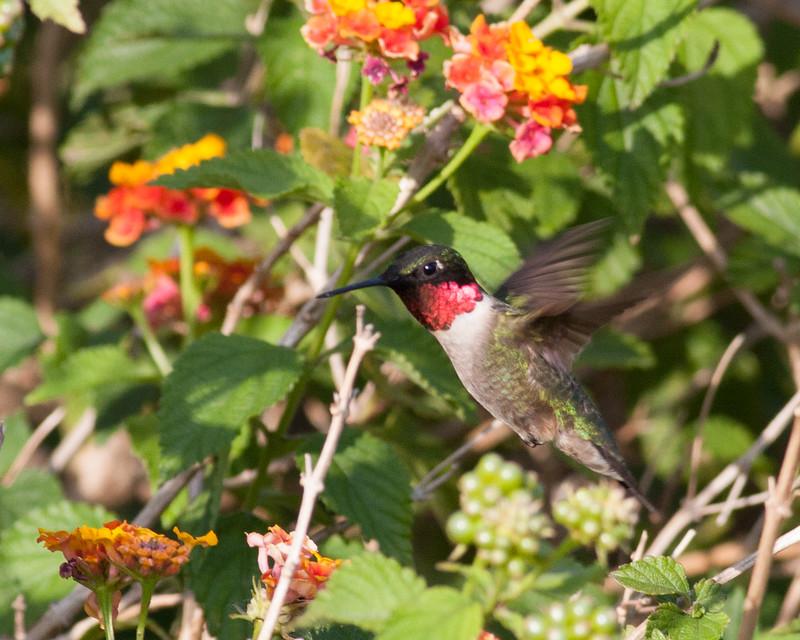 2014_ruby-throated hummingbird_Ft Desoto_ April 2014
