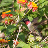 2014_ruby-throated hummingbird_Ft Desoto_ April 2014