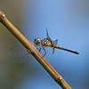 2016_blue dasher female_ Parrish FL_Oct_IMG_7354