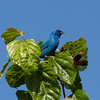 2014_indigo bunting_ Ft Desoto_ April 2014
