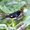 2014_Black throated blue warbler2 FDSP 042014