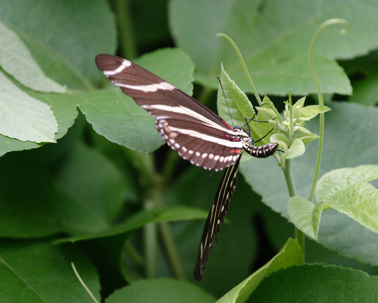 2013- zebra longwing laying eggs- Parrish backyard- summer