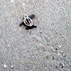 2013- loggerhead turtle hatchling_Stump Pass- July