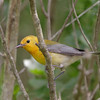 2013- prothonotary warbler- Ft Desoto- April