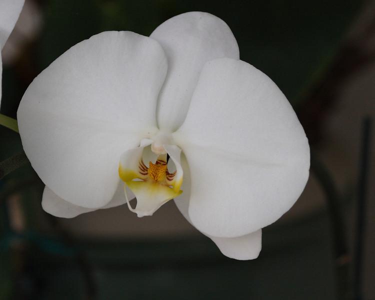2013- backyard orchid2- Parrish