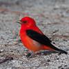 2014_Scarlet tanager2 FDSP 0420214