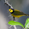 2014_hooded warbler_ Ft Desoto_ April 2014