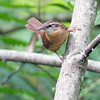 2016_ carolina Wren_Corkscrew_Swamp_April_IMG_2808