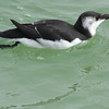 2013- razorbill- Anna Maria Island- Jan
