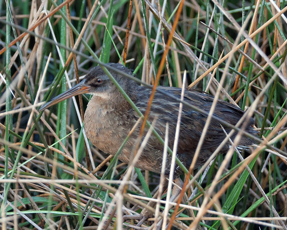 2016_clapper rail youngster_Cedar Key FL_ May_IMG_6243