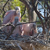 2013- roseate spoonbill2_St Augustine_March 2013