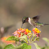 2014_ruby-throated hummingbirg3_Ft Desoto_ April 2014