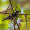 2016_black and white warbler_ F Desoto_ April_IMG_6169
