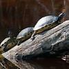 2015_ turtle log_ Bailey Track Sanibel_March 2015