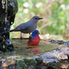 2014_painted bunting and catbird_ Ft Desoto_ April 2014