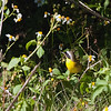 2014_Common yellowthroat_ Ft Desoto_ April 2014