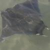 2013- devil fish- Anna Maria Island- Jan