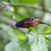 2014_Orchard oriole3 FDSP 042014
