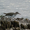 2014_spotted sandpiper_Sanibel Feb 2014