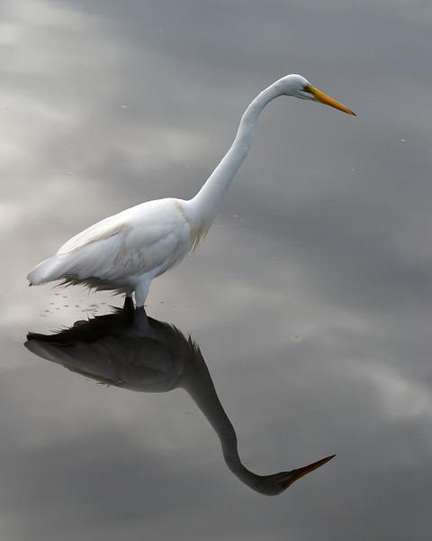 2013- Great egret_MINWR_Dec 2012