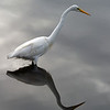 2013- Great egret_MINWR_Dec 2012