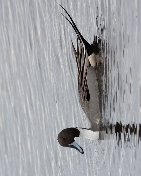 2014_pintail duck_MINWR_ Dec 2014
