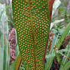 2016_strap-leaf fern spores_ Corkscrew Swamp_ April_IMG_4943