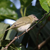 2013- red-eyed vireo- Ft Desoto- April