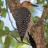 2016_red-bellied woodpecker_ Ft Desoto_April_IMG_5224