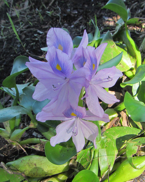 2016_ water hyacinth_ exotic_ Myakka River SP_ Oct_IMG_1021