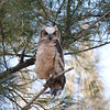 2014_Great horned owl fledgling_ Ft Desoto_ April 2014