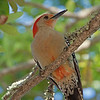 2016_red-bellied woodpecker_ Ft Desoto_ April_IMG_5221