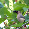2014_cedar waxwing_ Ft Desoto_ april 2014