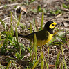 2013- hooded warbler- Ft Desoto- April