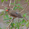 2016_cardinal_Corkscrew Swamp_ April_IMG_4970
